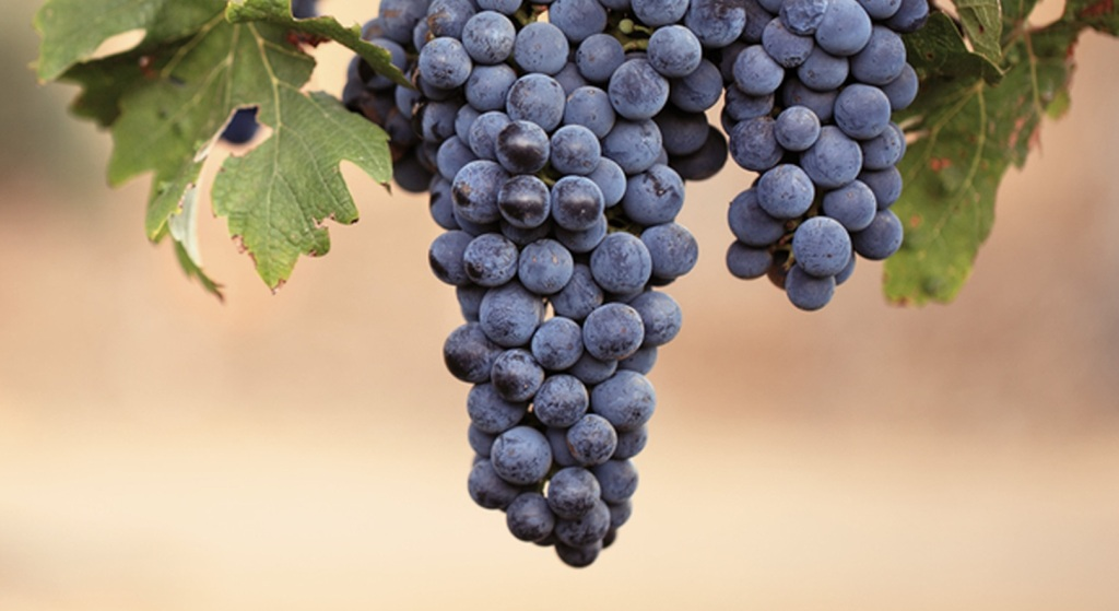 Malbec-Grapes-ripening-on-the-vine
